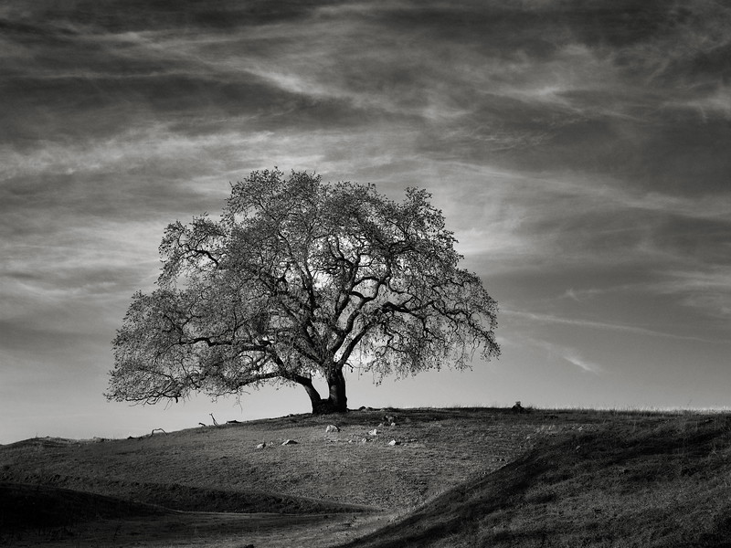 A Tree on a Beautiful Morning at Calero