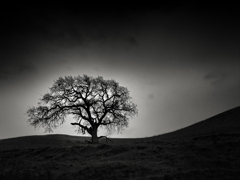 Oak on a Sweeping Hill