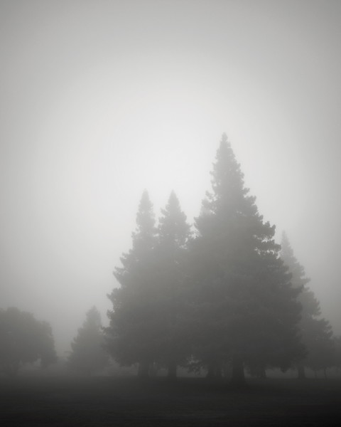 Conifers in the Fog