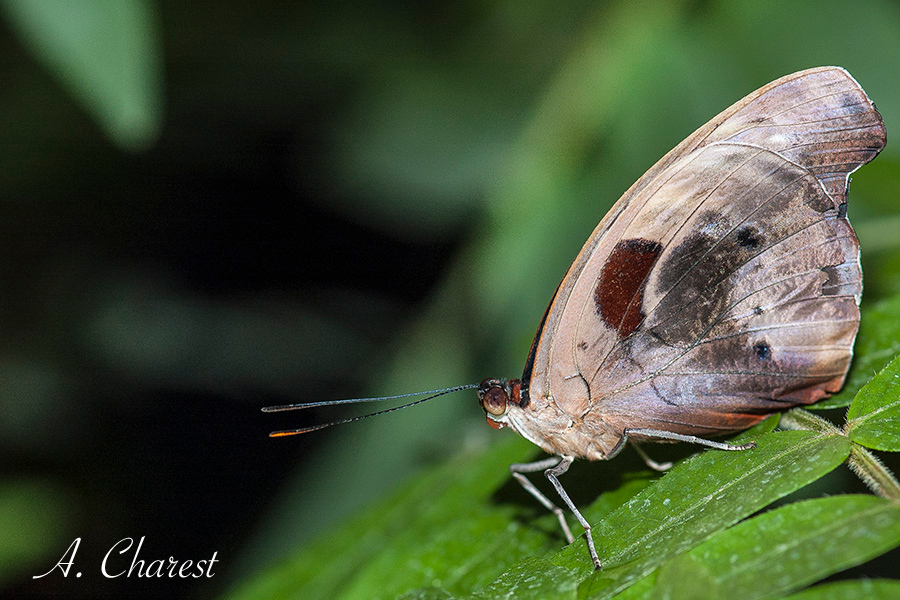 Papillon / Butterfly