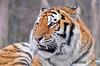 Tigre de l'Amour / Amur tiger