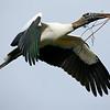 Wood Stork, St. Augustine, Florida