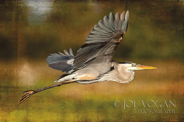 Great Blue Heron, Viera Wetlands, Florida