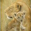 African Lion, Masai Mara National Reserve, Kenya