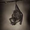 Seba's Short-tailed Fruit Bat