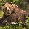 Grizzly or Brown Bear