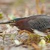 Green Heron, Viera Wetlands, Florida