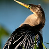 Anhinga, Loxahatchee National Wildlife Refuge, Florida