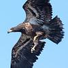 Bald Eagle, Anchor Point, Kenai Peninsula, Alaska