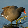 Common Moorhen, Loxahatchee National Wildlife Refuge, Florida