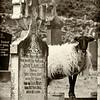 Goat in Kildownet Cemetery, Achill Island, Ireland