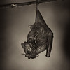 Seba's Short-tailed Fruit Bat