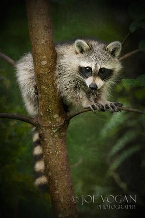 Raccoon, Jacksonville, Florida