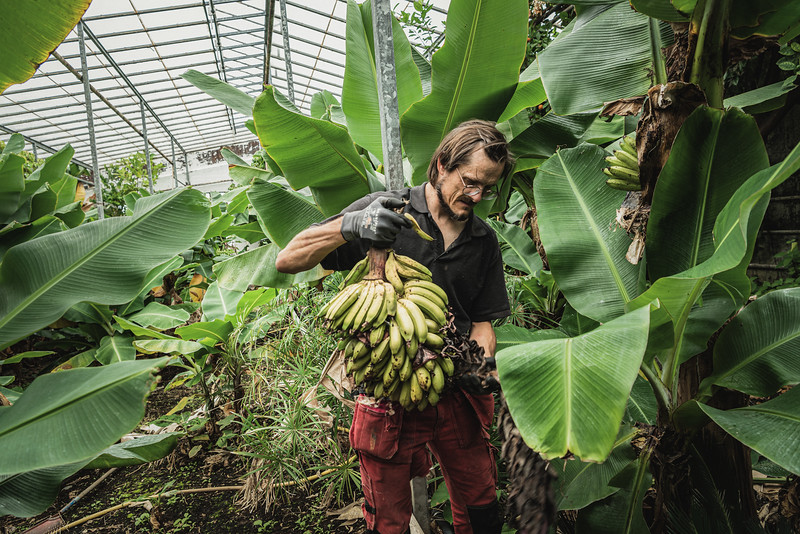 Kjartan, a researcher at the Icelandic Agricultural University, in the banana plantation in Hveragerði. This greenhouse has been growing bananas for research purposes since the 1950s and it is one of Europe's largest plantations. Hveragerði means hot springs garden. In this area, geothermal energy has been used for decades to heat the greenhouses and to provide illumination during the darkest months.