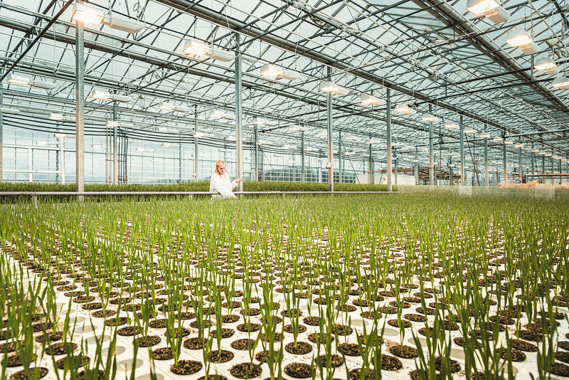 Elisabet controls barley seedlings at Bioeffect carbon-negative greenhouse, in Reykjanes Peninsula. The scientists of Bioeffect have developed a method to genetically engineer barley and produce Epidermal Growth Factor (EGF). This is a protein that stimulates cell growth and is used in luxury cosmetics to rejuvenate skin. This greenhouse holds up to 130,000 barley plants growing in inert volcanic pumice. The greenhouse is powered by clean geothermal energy and heat supplied by the neighbouring Svartsengi Power Station. A single gram of pure EGF has a market value of 10k$.