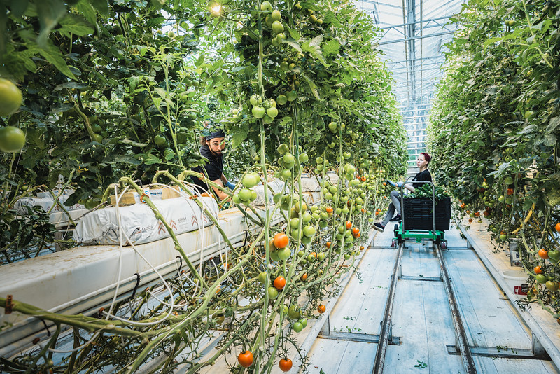 Germàn and Adriana harvest tomatoes in Friðheimar greenhouse, Reykholt. Iceland has dramatically reduced the importation of fresh vegetables, cutting down on the environmental and financial costs of transportation and preservation. Over 75% of tomatoes, 90% of cucumbers and large proportions of peppers are produced on the island.