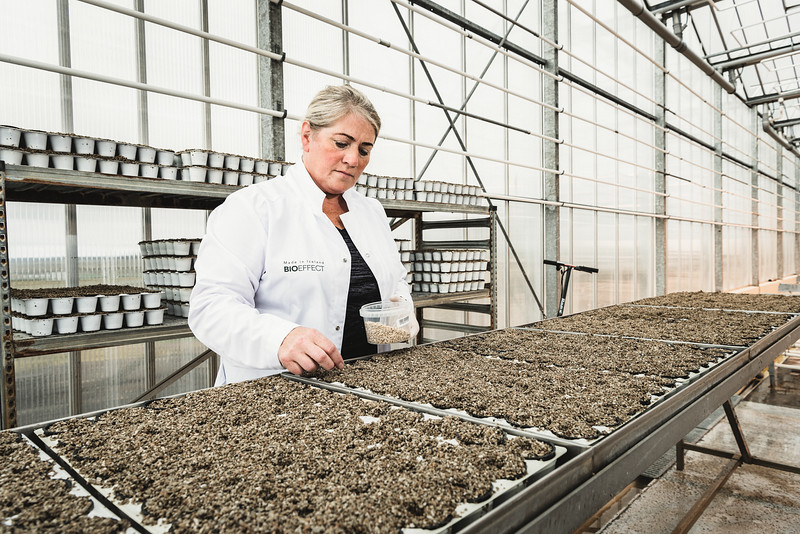 Gardener planting barley seeds in  inert volcanic pumice at Bioeffect greenhouse. The company has developed an innovative expression system which uses barley grain  as a vehicle for production of recombinant human and animal growth factors, which are used in luxury anti-ageing cosmetic products.