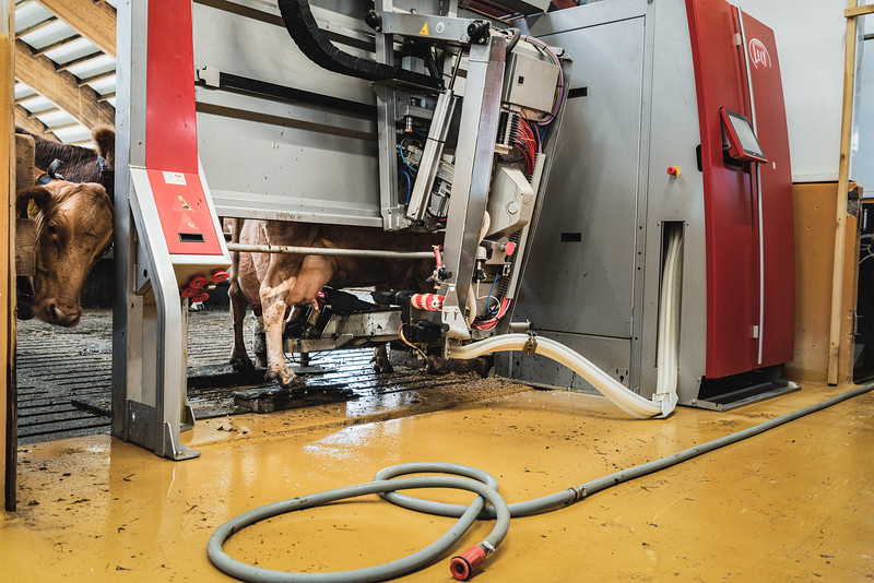 Flatey farm houses over 200 cows in one of Iceland's largest dairy farms. Cows are milked by a robotic milking system which  helps improving the animal health management.