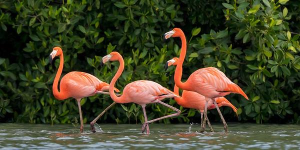 American Flamingos (Phoenicopterus rubber)