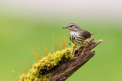 Louisiana Waterthrush (Parkesia motacilla)