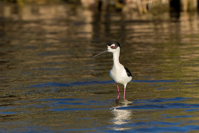 Black-necked Stilt (Himanatopus mexicanus)
