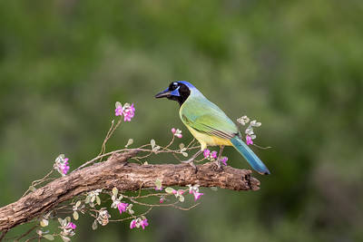 Green Jay (Cyanocorax incas)