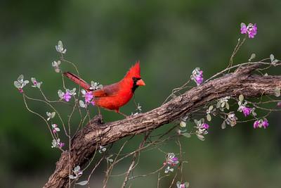 Northern Cardinal (Cardinals cardinalis)