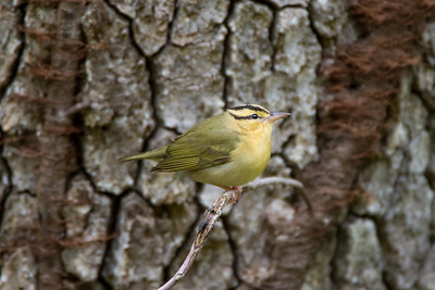 Worm-eating Warbler (Limnothlypis swainsonii)