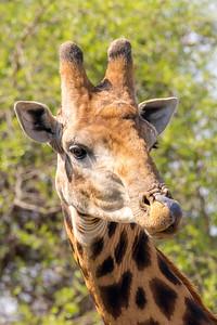 Southern Giraffe (Giraffe giraffa)