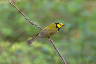 Hooded Warbler (Setophaga citrina)