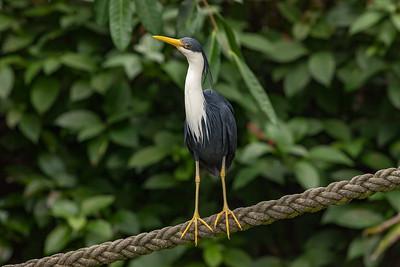 Pied Heron 2611