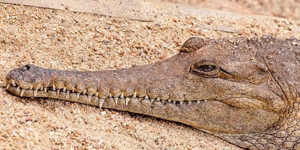 Croc Smile 2705p