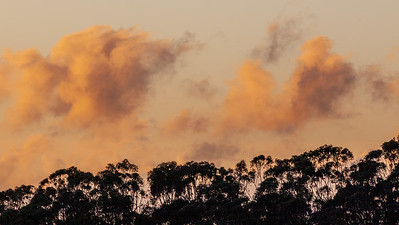 Eucalyptus Sunset 3546