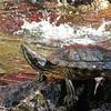 Turtle in Profile