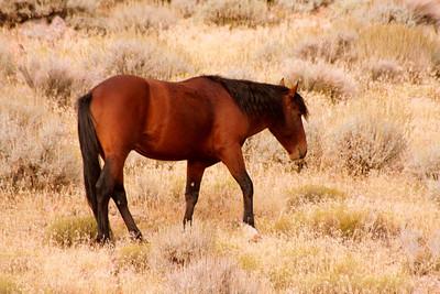 Wild Horses Near Reno Nevada