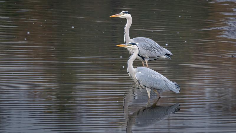 Grey Heron / Ardea cinerea / Blauwe reiger