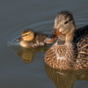 Mallard Mom and Chick