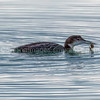 Pacific Loon with a Crab