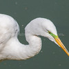 Great Egret with Breeding Colors