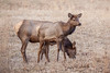 Elk calf and mother in the Cataloochee area of GSMNP.