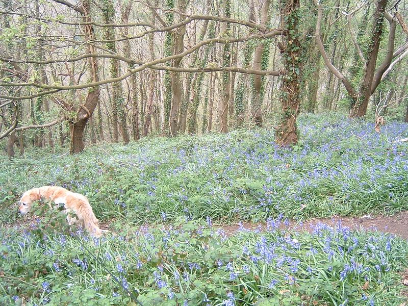 Bluebells in woods