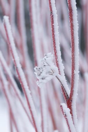 Frosty Dogwood