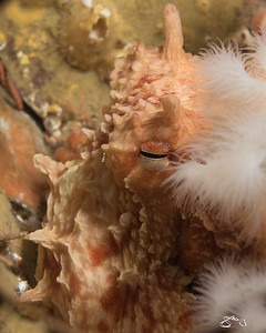 Giant Pacific Octopus amidst Plumose Anemones
