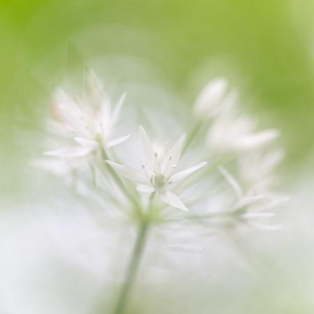 Ramsons (Wild Garlic) / Allium ursinum / Daslook