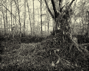 SWAMP FOREST NO. 2