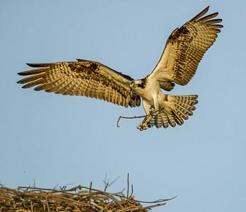 Osprey neqr nest