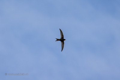 Mauersegler (eurasian common swift)