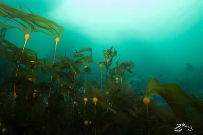 Baby Bull Kelp
