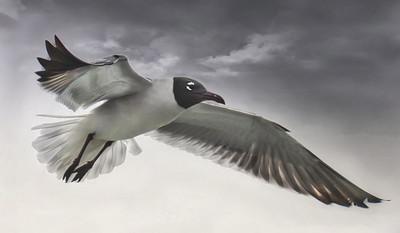Gull Hover