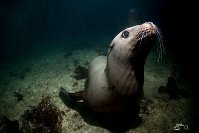 Steller sea lion underwater